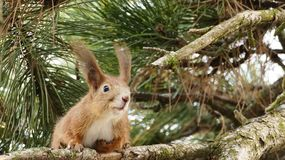 Écureuil rouge avec de longues oreilles sur le pin Image stock