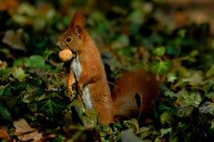 Écureuil rouge avec la noix Photographie stock libre de droits