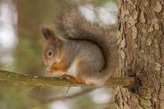 Écureuil rouge avec le manteau d'hiver Photographie stock