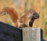 Écureuil rouge avec le visage boueux Images libres de droits