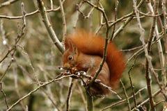 Écureuil rouge britannique photographie stock libre de droits