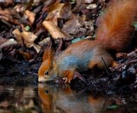 Écureuil rouge buvant et reflété dans l'eau Photographie stock libre de droits