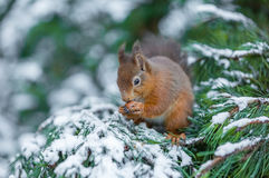 Écureuil rouge cachant la nourriture Photos stock
