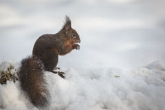 Écureuil rouge dans la neige photographie stock