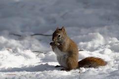 Écureuil rouge dans la neige en hiver images stock