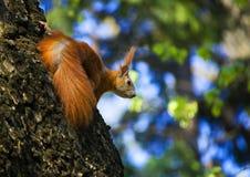 Écureuil rouge dans un arbre Images libres de droits