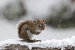 Écureuil rouge de tempête d'hiver photo stock