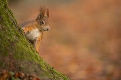 Écureuil rouge effronté Image libre de droits