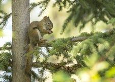 Écureuil rouge en Alaska image stock