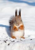 Écureuil rouge en hiver photographie stock