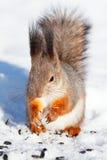 Écureuil rouge en hiver images stock