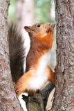 Écureuil rouge en nature Photographie stock libre de droits
