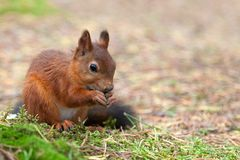 Écureuil rouge en nature Image libre de droits