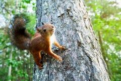 Écureuil rouge en nature Images libres de droits