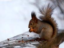Écureuil rouge en parc d'hiver photo libre de droits