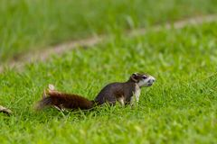 Écureuil rouge en Thaïlande jouant autour et recherchant la nourriture dessus Images stock
