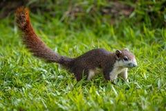 Écureuil rouge en Thaïlande jouant autour et recherchant la nourriture dessus Image libre de droits