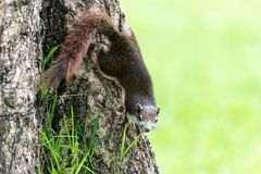 Écureuil rouge en Thaïlande jouant autour et recherchant la nourriture dessus Images libres de droits