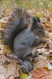 Écureuil rouge eurasien Photo stock