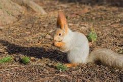 Écureuil rouge eurasien Image stock