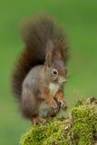 Écureuil rouge eurasien Photographie stock libre de droits