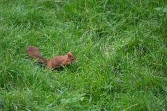 Écureuil rouge eurasien Images libres de droits