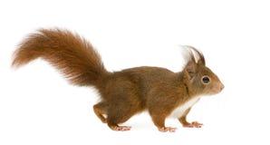Écureuil rouge eurasien - Sciurus vulgaris (2 ans) image stock
