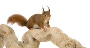 Écureuil rouge eurasien - Sciurus vulgaris (2 ans) Photo libre de droits