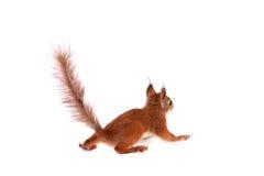 Écureuil rouge eurasien, Sciurus vulgaris sur le blanc Photographie stock libre de droits