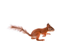 Écureuil rouge eurasien, Sciurus vulgaris sur le blanc Photographie stock