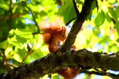 Écureuil rouge européen Photos stock