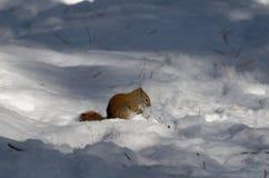 Écureuil rouge forageant en hiver photos stock