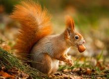 Écureuil rouge forageant pour des noisettes photo libre de droits