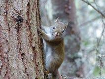 Écureuil rouge grimpant à un arbre Photos libres de droits