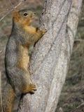 Écureuil rouge - hudsonicus de Tamiasciurus photographie stock