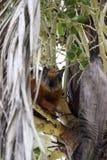 Écureuil rouge jetant un coup d'oeil autour d'un arbre photographie stock