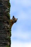 Écureuil rouge jetant un coup d'oeil autour d'un arbre photos libres de droits