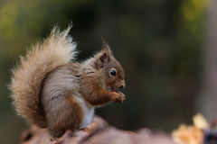 Écureuil rouge mangeant la noisette Photographie stock libre de droits