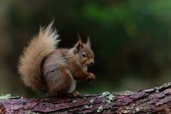 Écureuil rouge mangeant la noisette Images stock
