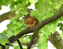 Écureuil rouge mangeant un écrou sur une branche d'arbre Images stock
