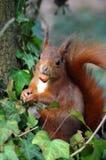 Écureuil rouge mangeant une noisette Images libres de droits