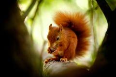Écureuil rouge mangeant une noix Photo libre de droits