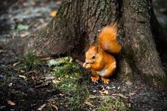 Écureuil rouge mignon curieux, hudsonicus de Tamiasciurus se reposant sous l'arbre en parc Image libre de droits