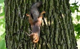 Écureuil rouge mignon mangeant un écrou sur un arbre Photos libres de droits