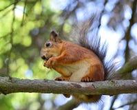 Écureuil rouge mignon mangeant un écrou sur la branche d'arbre Photographie stock libre de droits