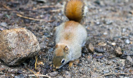 Écureuil rouge nord-américain Images libres de droits