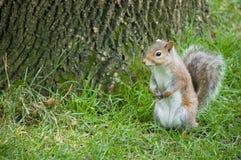Écureuil rouge par l'arbre Photo libre de droits
