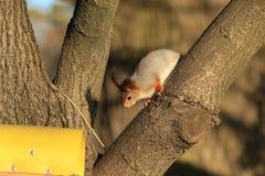 écureuil rouge pelucheux sur un arbre photos libres de droits