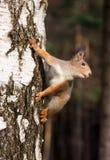 Écureuil rouge posant sur le bouleau photographie stock libre de droits