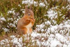 Écureuil rouge recueillant la nourriture Photographie stock